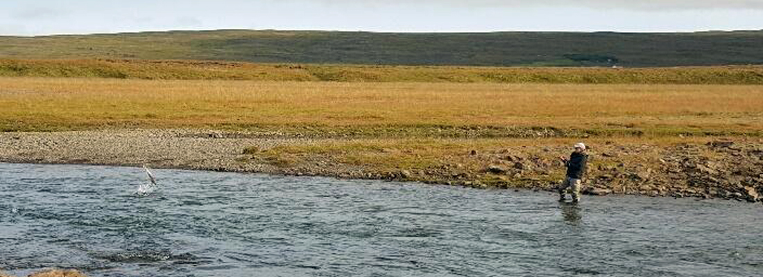 Leaping atlantic salmon in Iceland