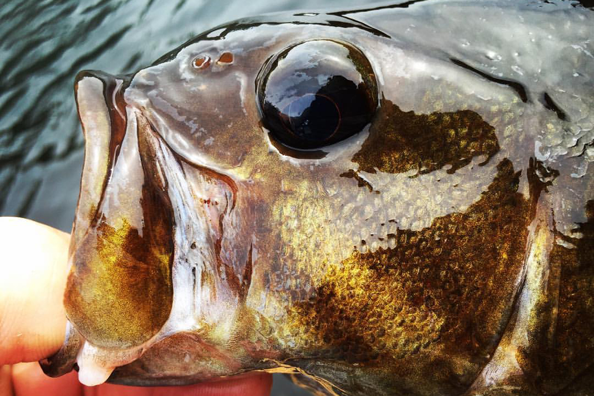 Smallmouth bass in Maine