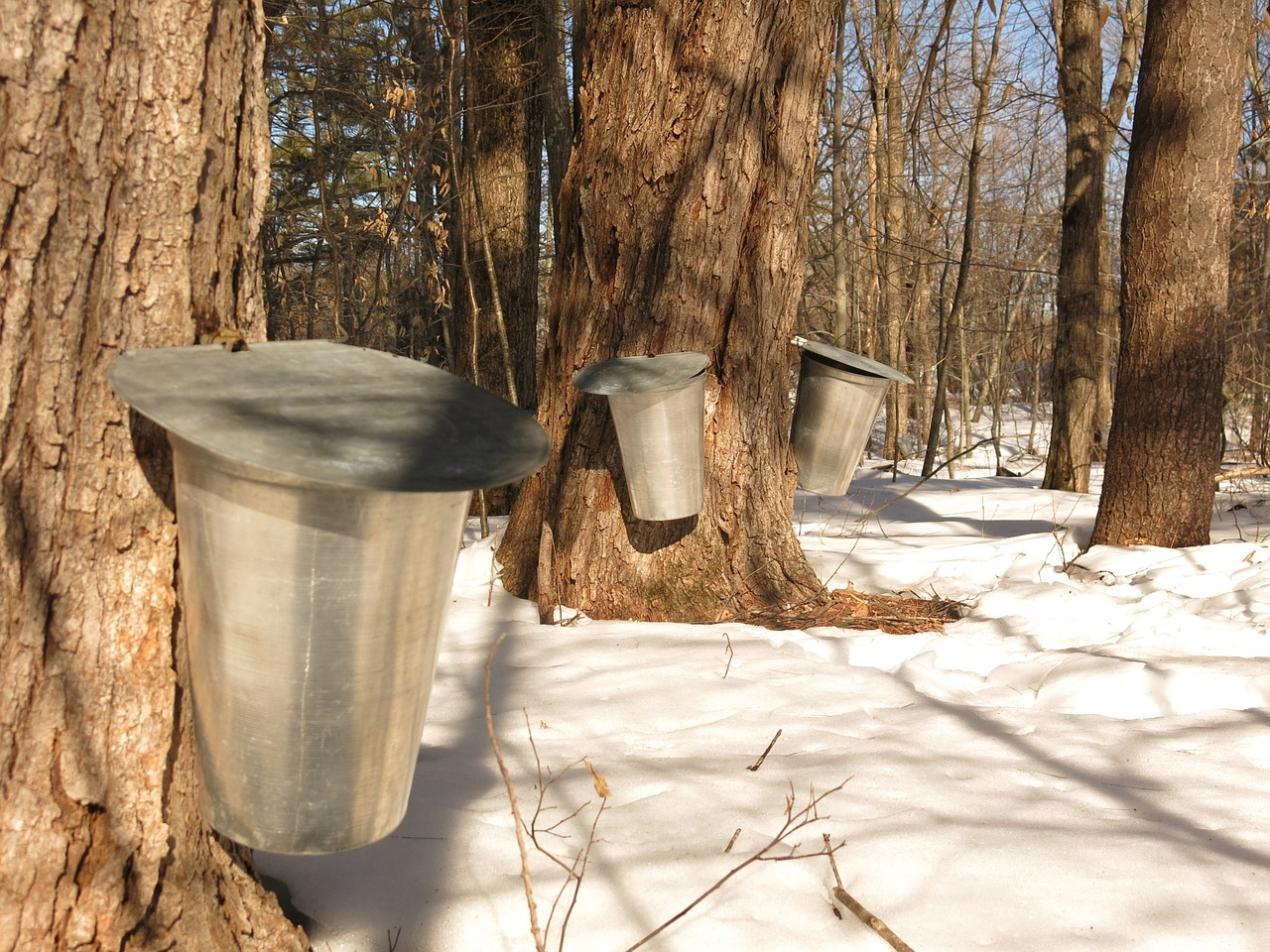 maple syrup rites of spring
