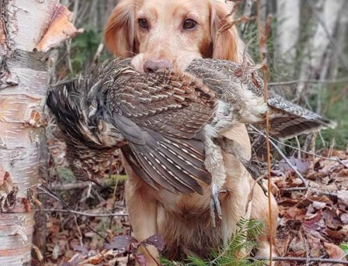 Top 11 Excuses for Missing Your Grouse or Woodcock in the Maine Woods